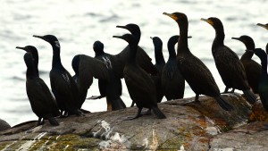 Both Double-crested and Brandt's Cormorants can be seen here. Double-crested have the yellowish patch at the base of the bill.