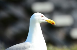This Glaucous-winged Gull has almost yellow eyes.