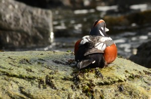 Male Harlequin rests on boulder with nori growing on it.