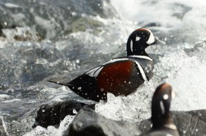 Whitewater birds, Harlequin Ducks swim underwater using their wings like an alcid or a dipper.
