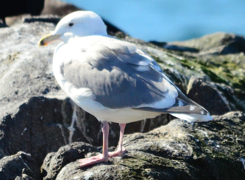 Okay, here is a challenge. What kind of gull is this? Black on bill like a Californian but pink legs.