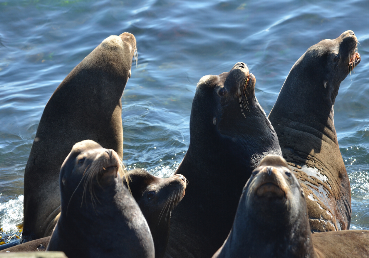 California Sea Lions are noisy neighbours.