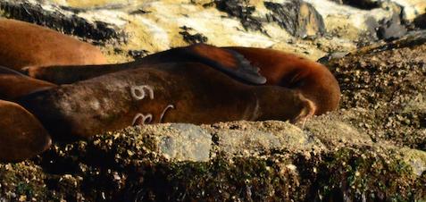 California Sea Lion #U68