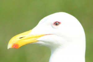 The colour changes in the light and the same gull's eye here looks more mottled and golden.