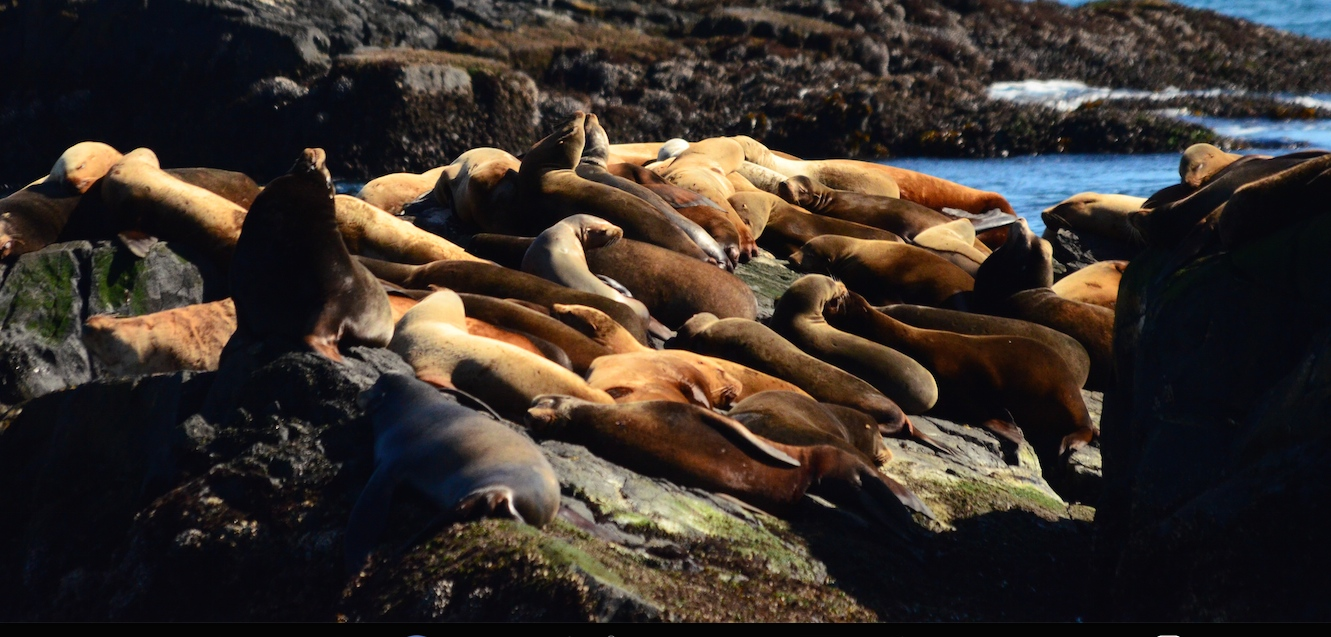 Sleeping sealions on South Rock just prior to explosion.