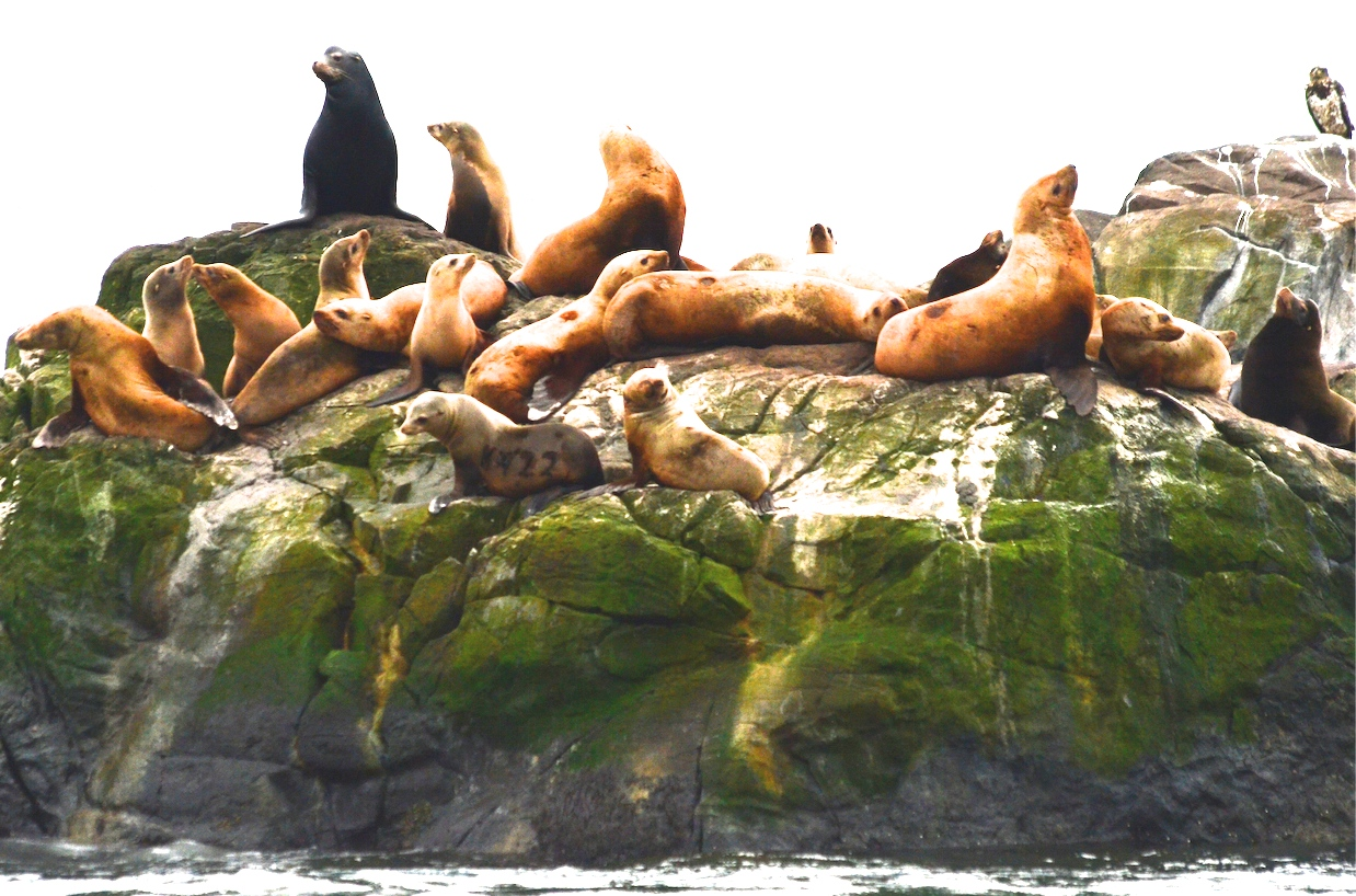 Sea lions of both species hauled out together. Juvenile bald eagle on right, branded sea lion on bottom left.