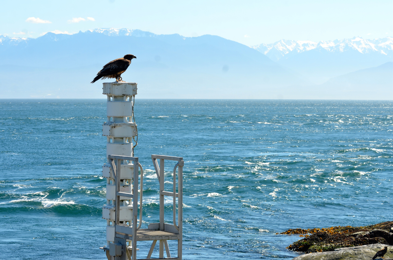 Bald Eagles continue to frequent the Ecological Reserve. This young on is roosting on the foghorn, a popular place to face into the wind.