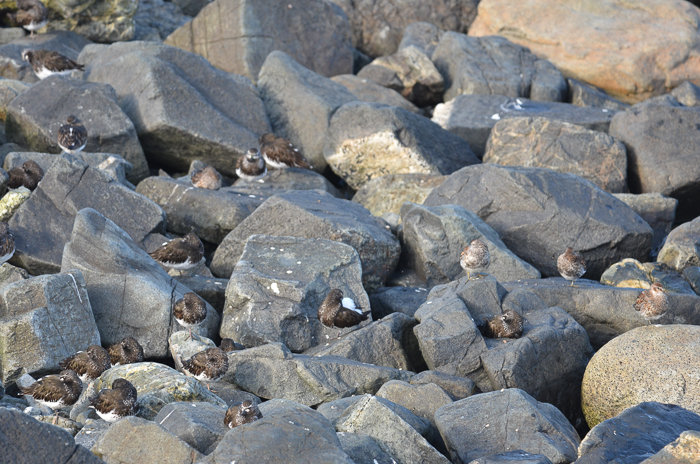 Black Turnstone's and Rock Sandpipers
