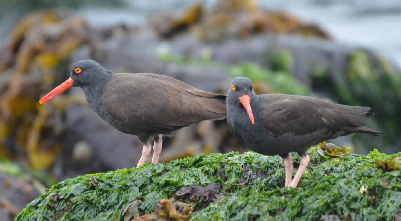 This pair of Black Oystercatchers are foraging for limpets on the low tide.