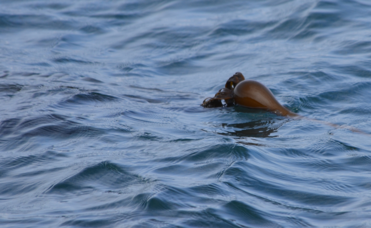New, spring bull kelp is stretching out on the surface already.