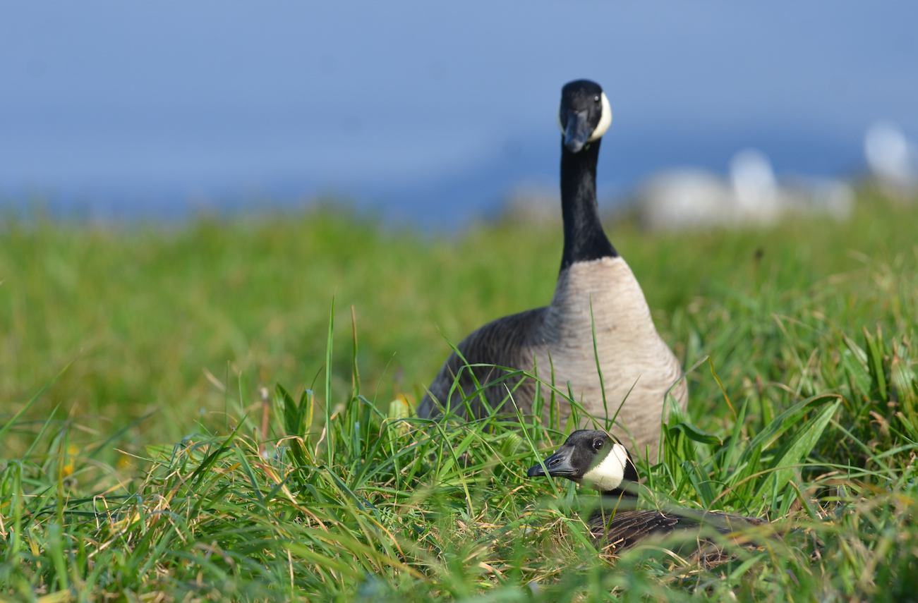 Nesting Canada geese, the gander standing by the nest.