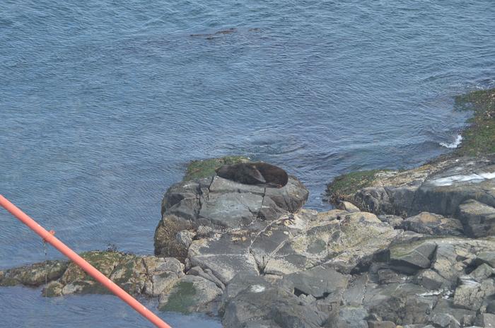 California Sea Lion, unusual location