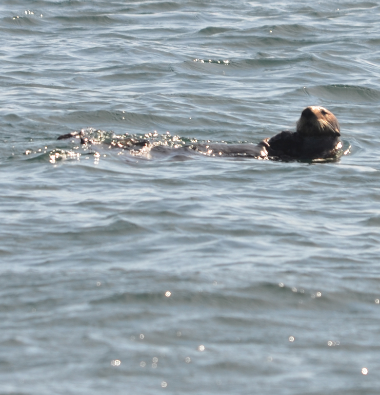 Lone male Sea Otter recovering from a dive.