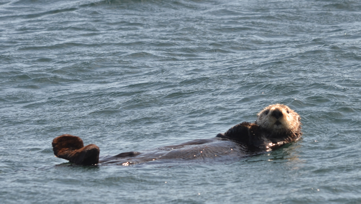 This Sea Otter is about the size of a big  dog like an Alsatian Shepherd. He is smart to stay in the lee of the island where it is calm.