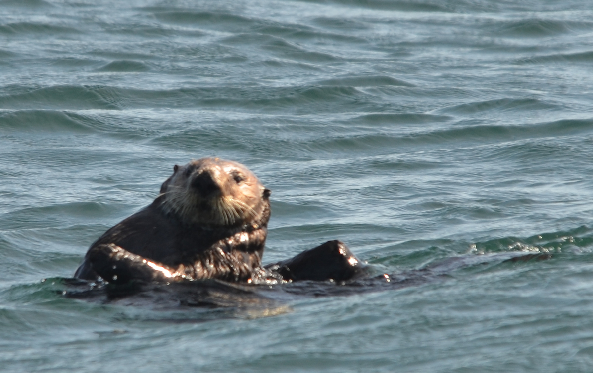 Sea otter scratching an itch on his right forearm.