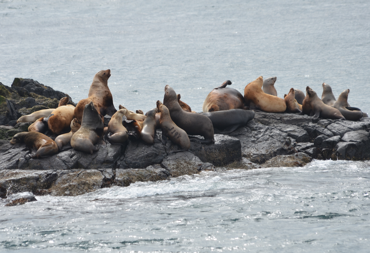 Steller's Sea Lions haul out on South Rocks. Branded female 319Y visible in the middle.