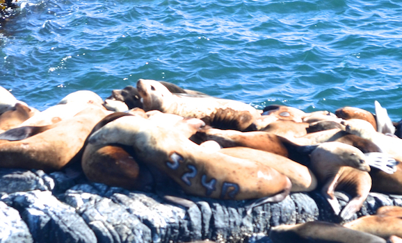 This Steller's Sea Lion is branded with 524R, just visible on the right side, in the shadow.