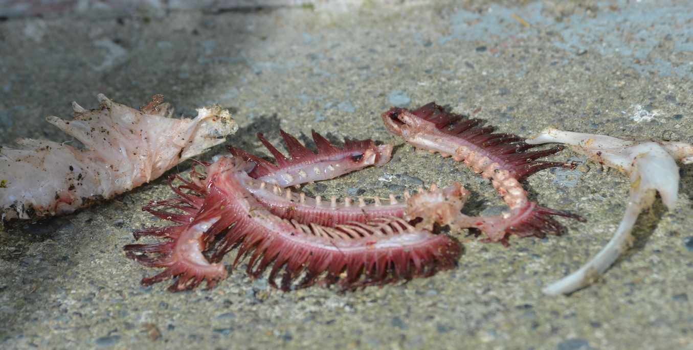 These remains were left right outside the energy building door. Gills, rakers, a back bone and opercula were all that was left.