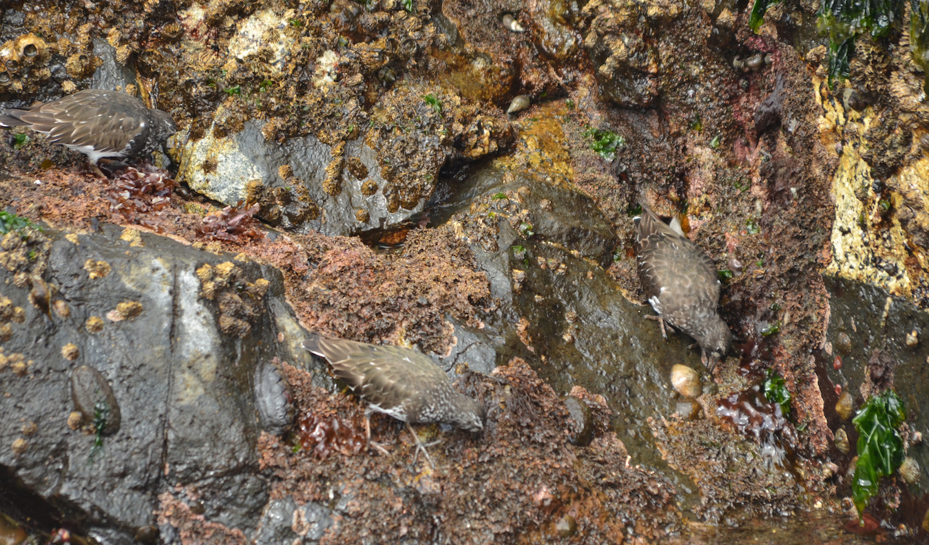 How many Black Turnstone do you see? How many Black Katy chitons and limpets?