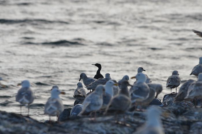One cormorant