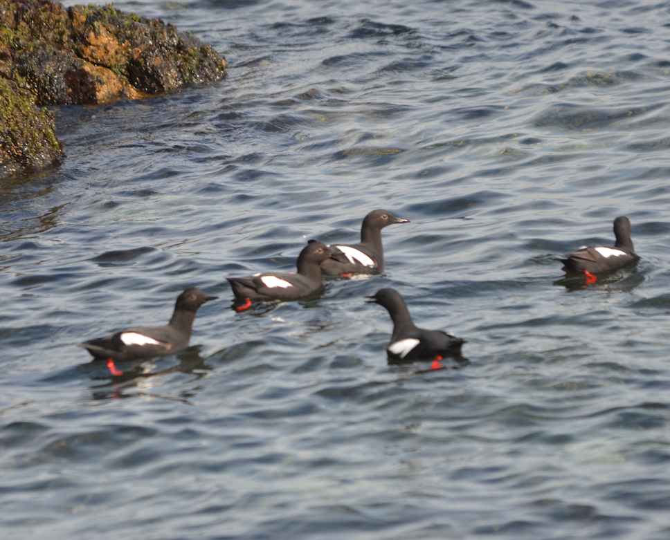 Pigeon Guillemots were seen in large numbers during the morning.