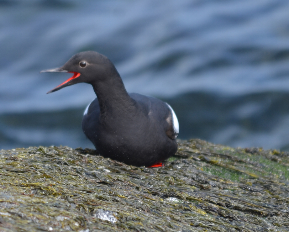 One of the few Pigeon Guillemots to come ashore today.