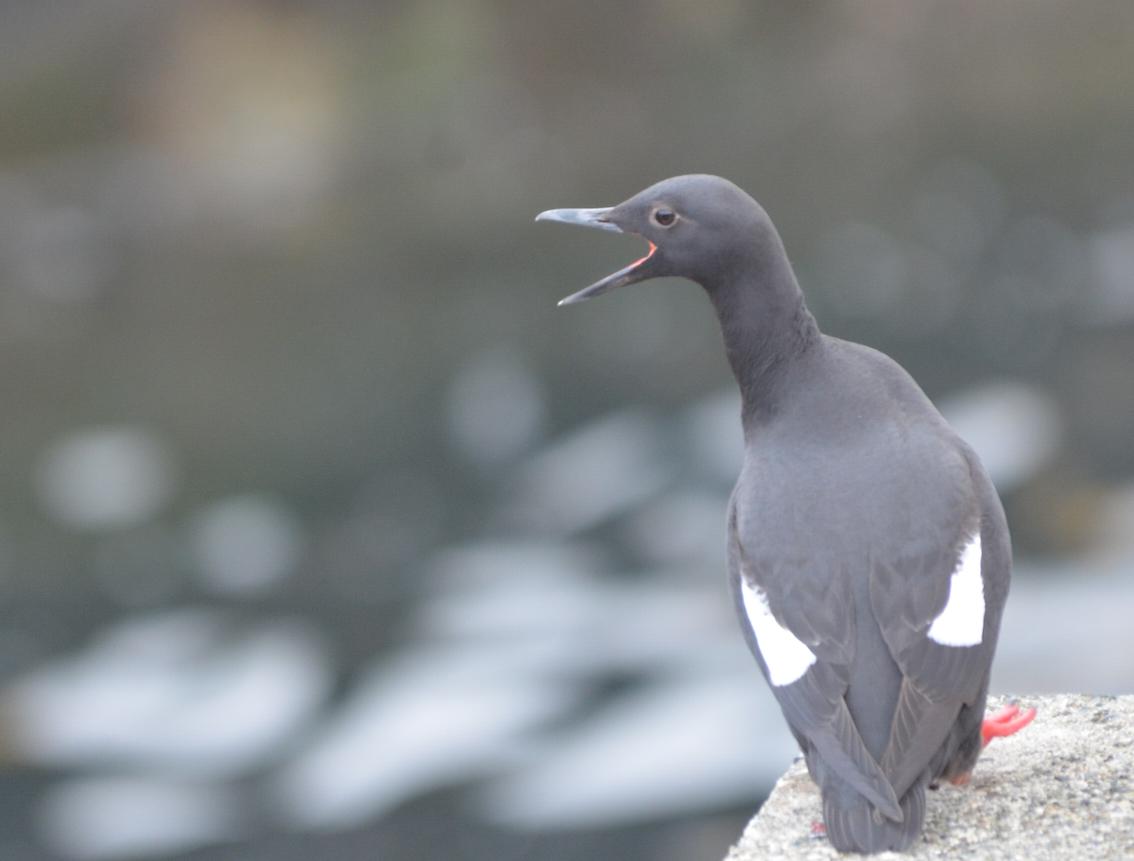 Pigeon Guillemot ashore.