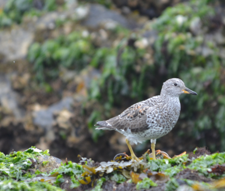 Surfbirds are also intertidal feeders.