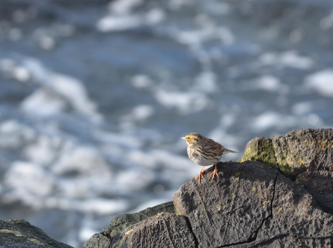 Savannah Sparrows are back.