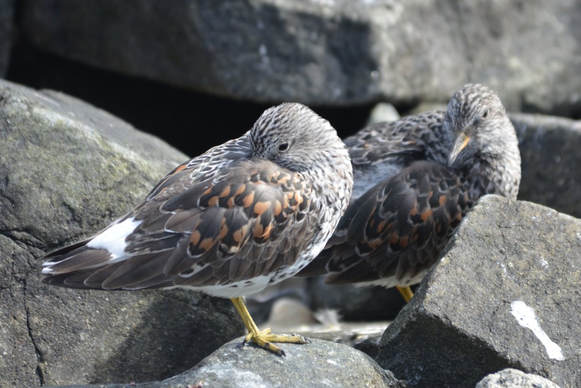 Surfbirds leave the coast in the summer and migrate up to the mountain ridges of the Alaskan slope in Alaska and the Yukon.
