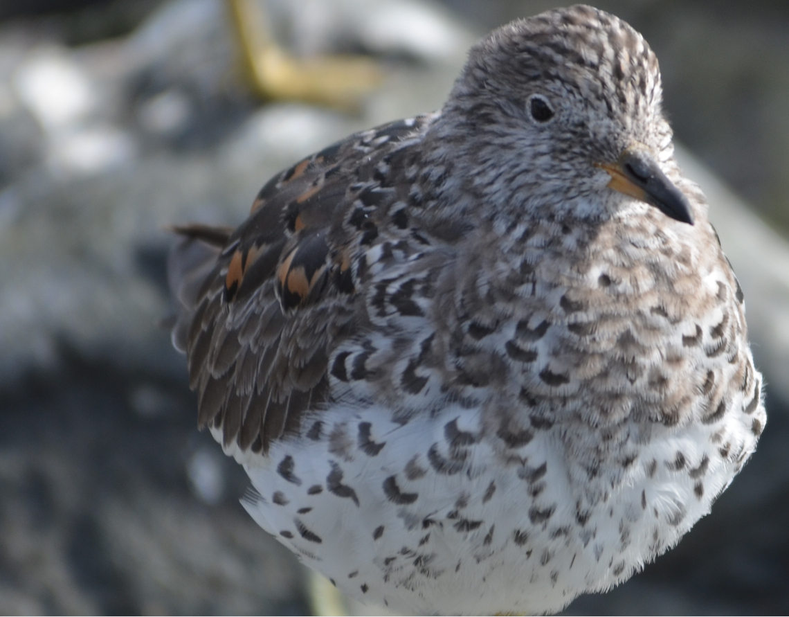 This Surfbird has been preeening and stretching and is all puffed up.