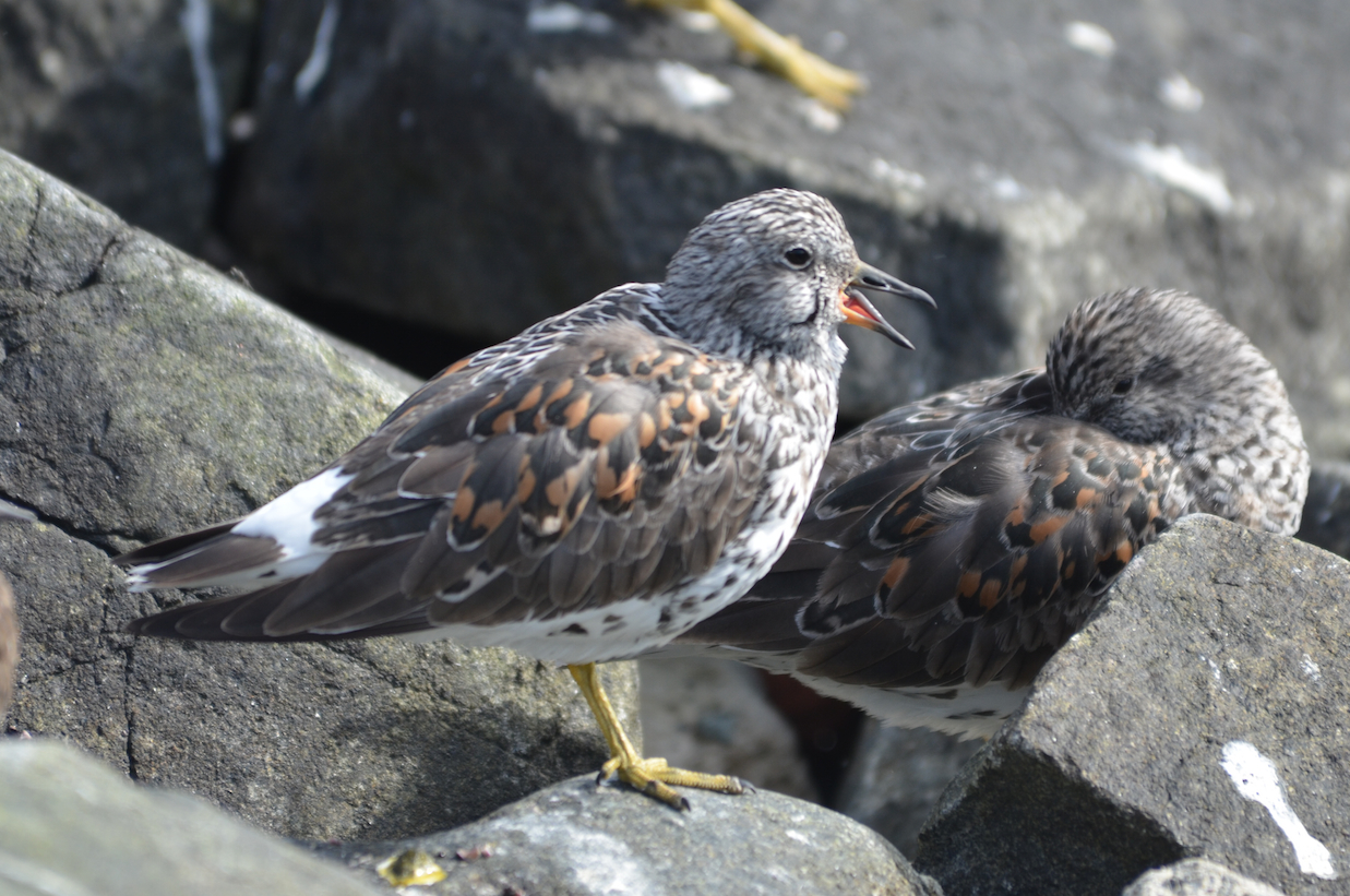 I find the Surfbird and Rock Sandpiper can be difficult to distinguish. The Surfbird's white rump patch helps.