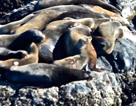 This California Sea Lion is branded with X279 and the brand is still pink.