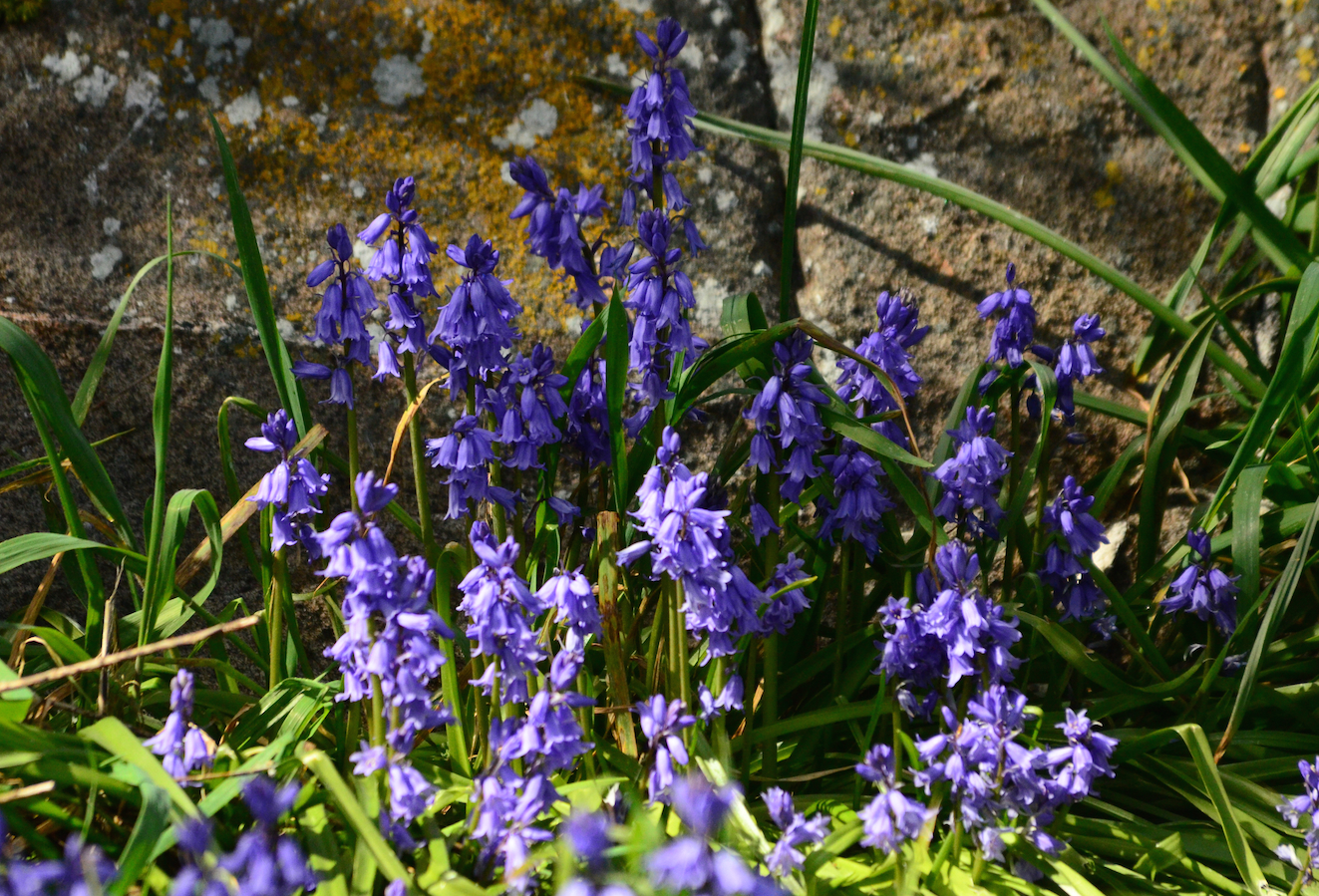 Bluebells by an old granite rockwall.