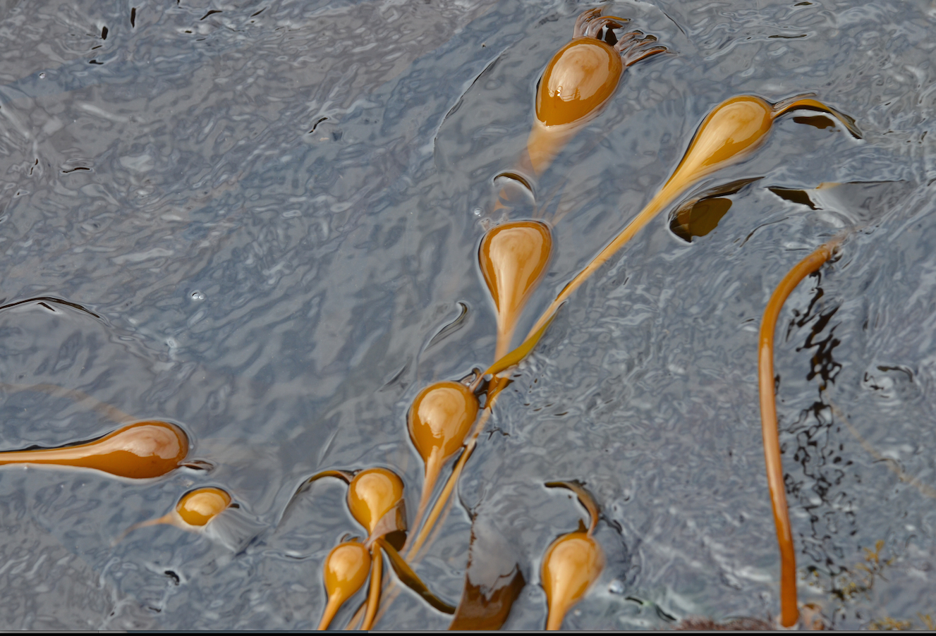 Young bull kelp is entering the rapid, stretching out,  phase of its growth now.