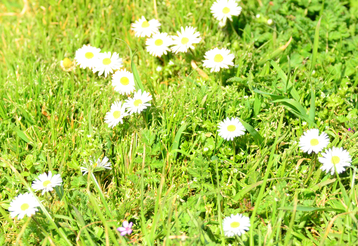Little lawn daisies from the old days.
