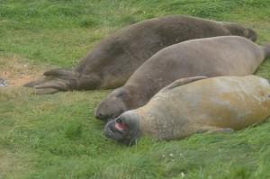 the elephant seals