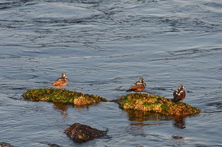 3 Male Harlequin Ducks