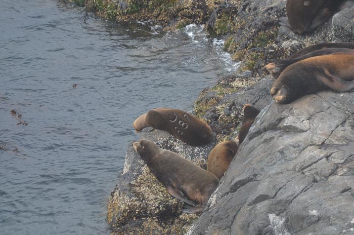 California Sea Lion U687