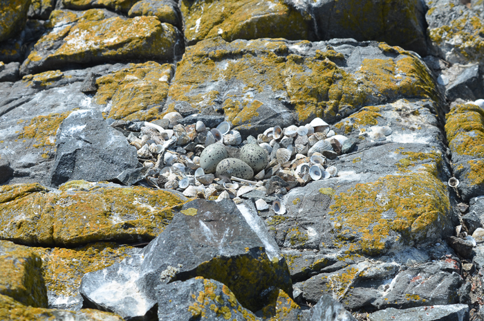 Oystercatcher nest!