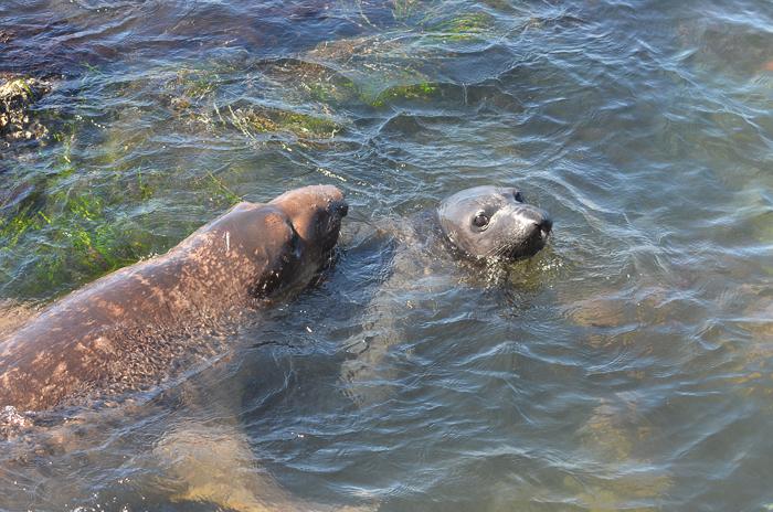 Elephant seal gaze