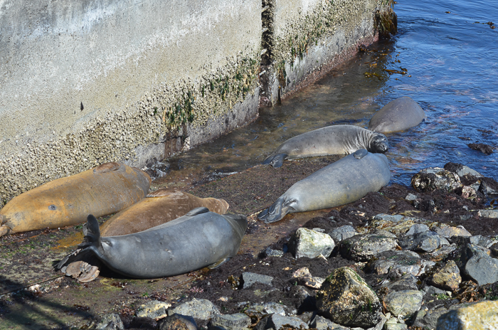 Elephant seals missed the tide!
