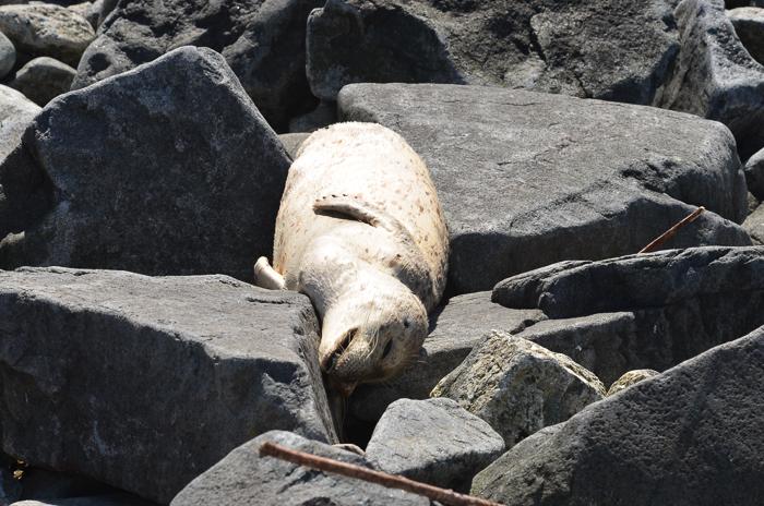 Little harbour seal.. dead