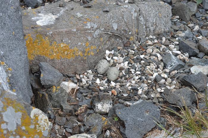 Oystercatcher nest!