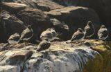 Black Turnstones and Surfbirds resting.