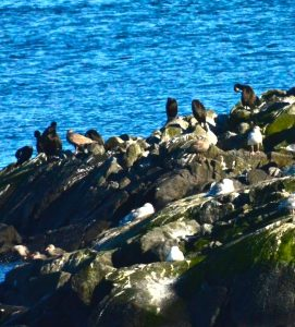 Brandt's Cormorants at top and Heerman's Gulls bottom left with Glaucous-winged Gulls in the middle.