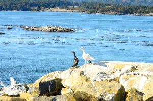 cormorant-gull-27-9