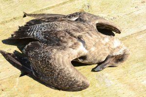 dead-gull-28-9