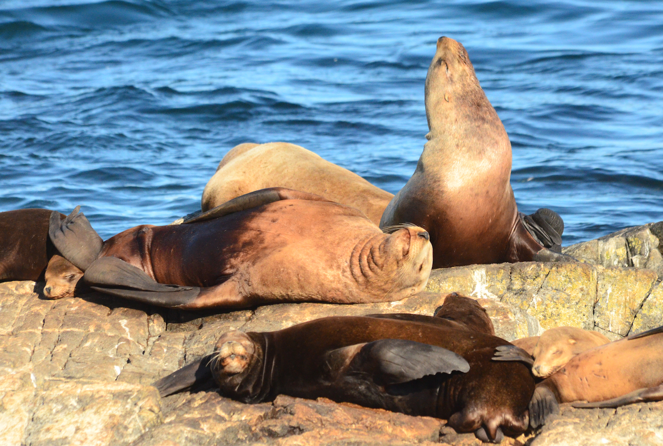 Both species of sea lions rest and sleep next to and on top of each other.