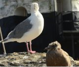 Late fledging Glaucous-winged Gull with adult behind, head turned.
